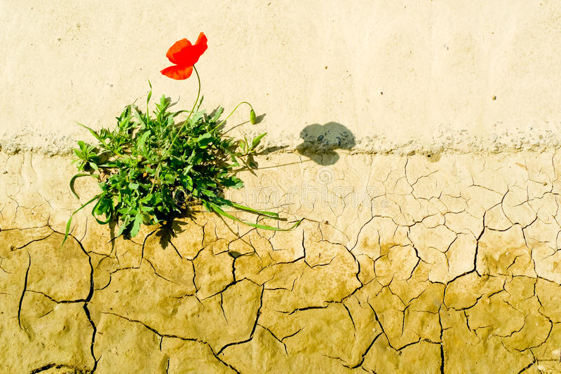 Download Surviving poppy stock image. Image of background, dryness - 28611401
