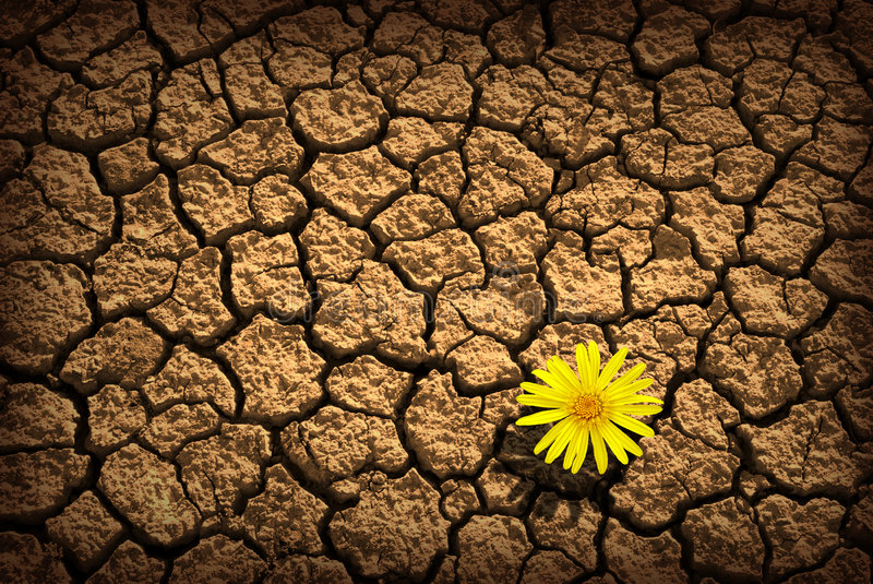 Survivor. Pattern of cracked and dried soil With a single flower stock photography