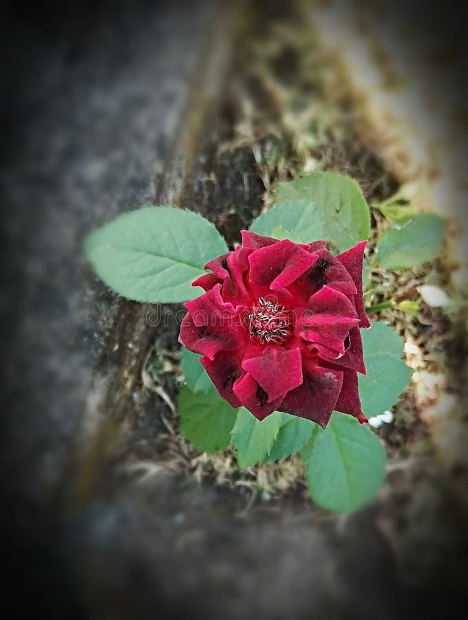 A survivor red rose stock images