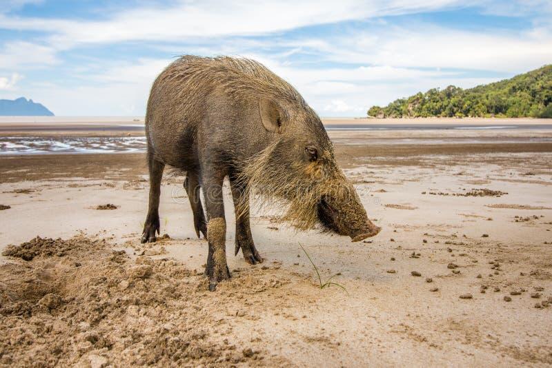 Sus farpado Barbatus do porco de Bornean na praia do parque nacional de Bako que procura pelo alimento na areia, Kuching, Malásia fotos de stock