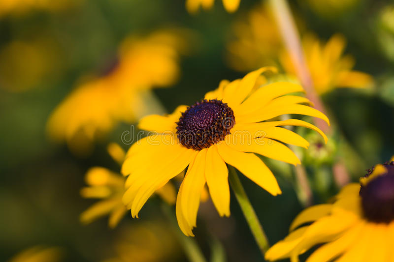 Susan Black-eyed (hirta do Rudbeckia) imagem de stock royalty free