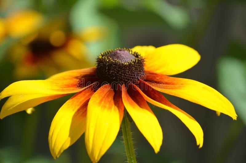 Susan Blossom Negro-observada floreciente hermosa foto de archivo libre de regalías