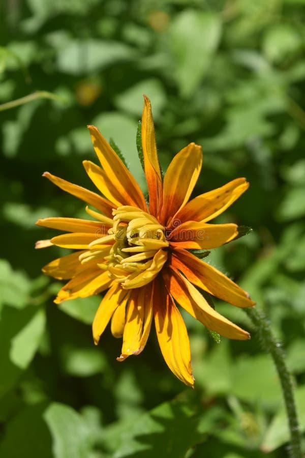 Susan Almost de olhos pretos bonita na flor completa foto de stock royalty free