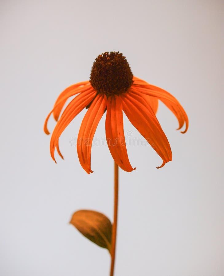 Susan Flower dagli occhi castani fotografie stock libere da diritti