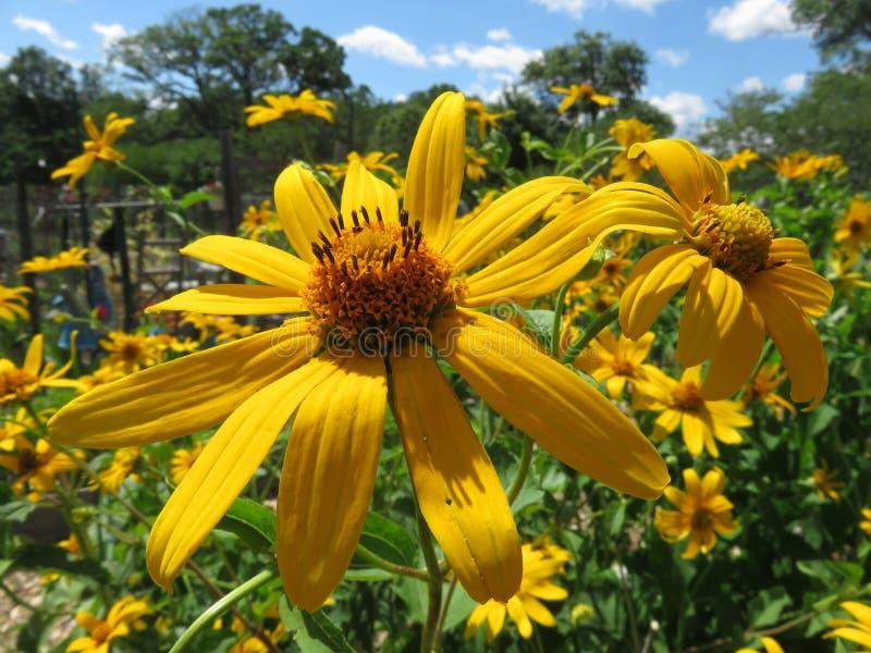 Susan Flowers paresseuse dans le jardin d'?t? image libre de droits