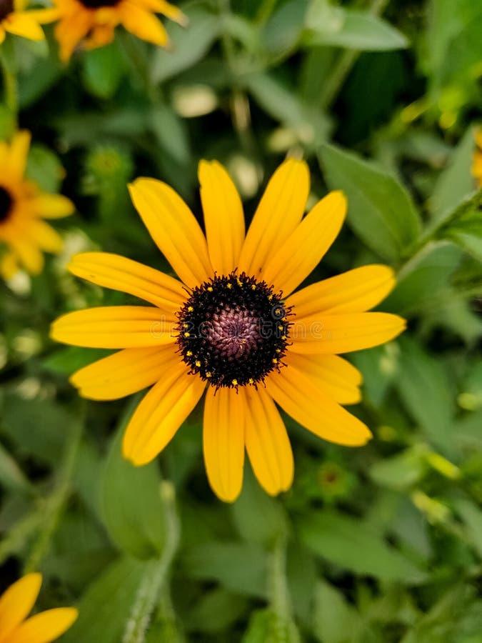 Susan negro-observada flor amarilla o margarita amarilla imagenes de archivo
