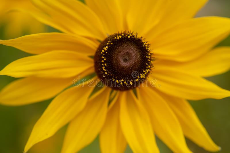 Susans Black-Eyed fotografia stock