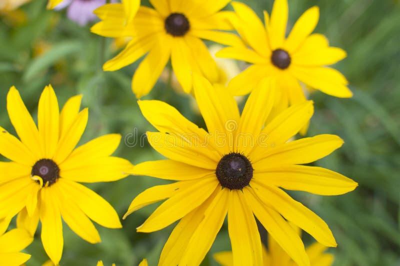 Susans Eyed negro fotografía de archivo