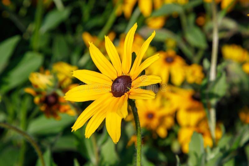 Susans observados negros o margarita de ojo de buey amarilla imagen de archivo