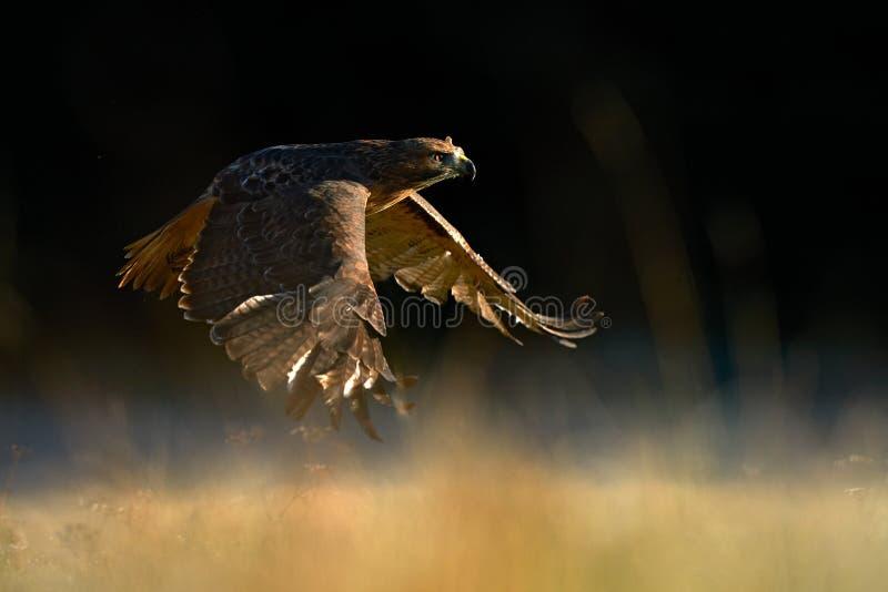 Suset com falcão Pássaro voador de presas acima do campo, Buteo jamaicensis, pântano-de-cauda-vermelha, aterrando na floresta imagens de stock royalty free