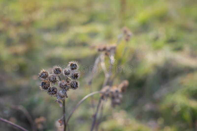 Susi łopianowi kwiaty w opóźnionej jesieni zamykają w górę fotografii fotografia royalty free