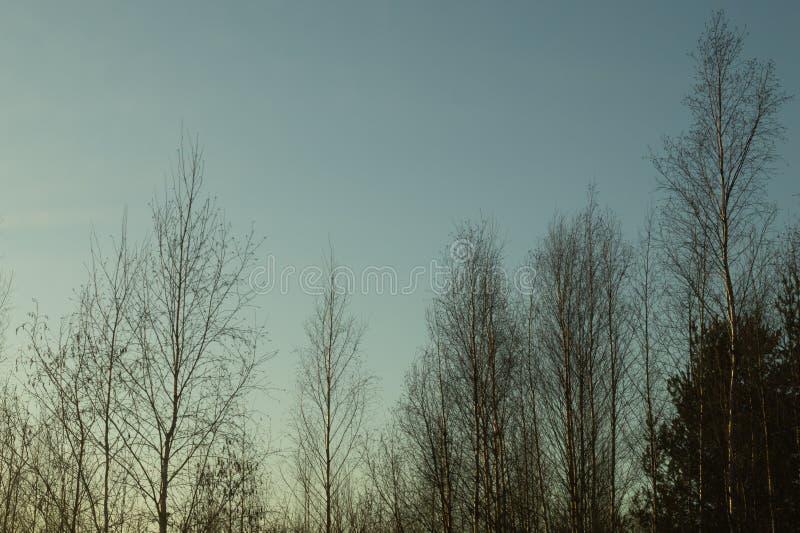 Susi drzewa w ponurym dniu w lesie zdjęcie royalty free