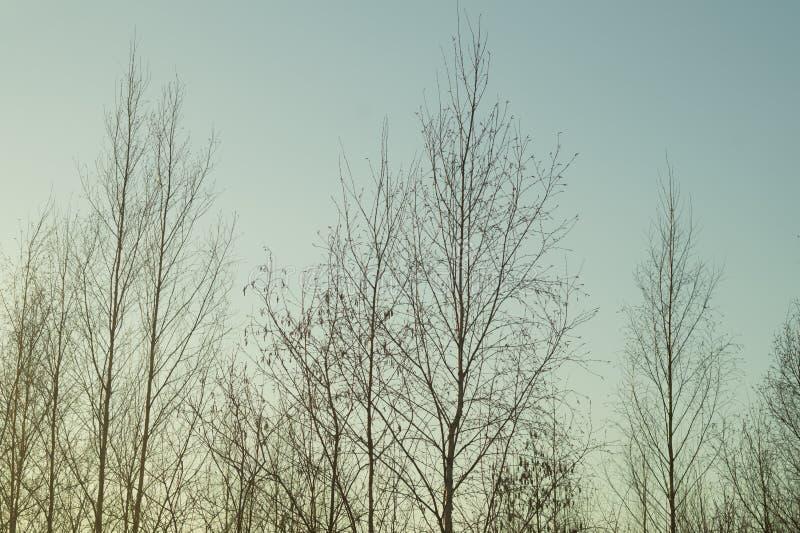 Susi drzewa w ponurym dniu w lesie fotografia stock