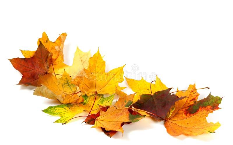 Susi multicolor klonowi liście na białym tle zdjęcie royalty free