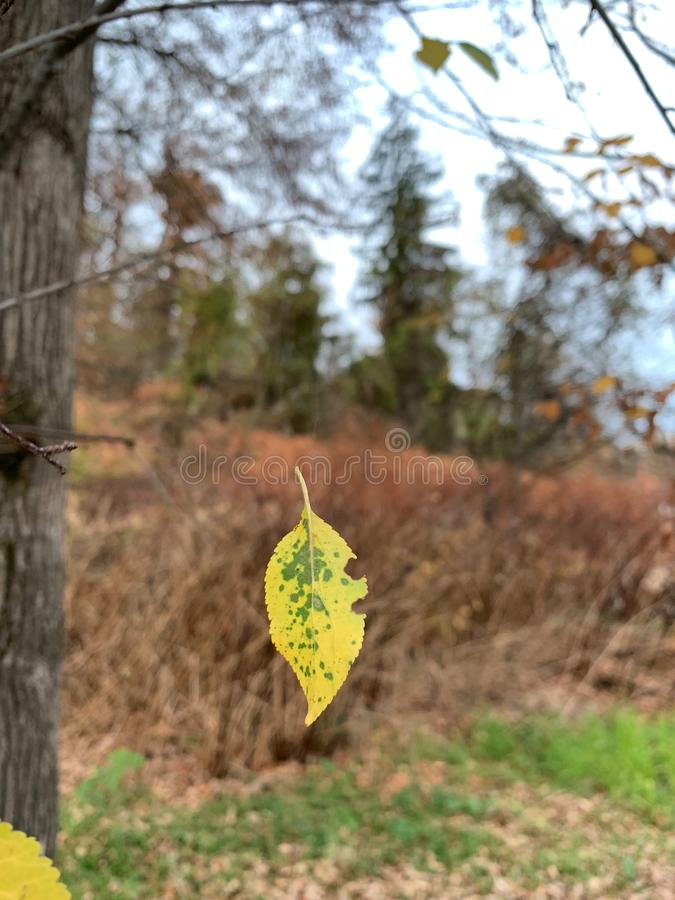 Suspended falling leaf in autumn. stock photography
