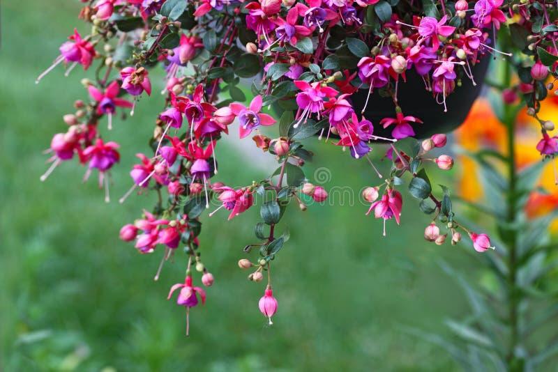 Suspensão da flor de Fuschias imagem de stock royalty free
