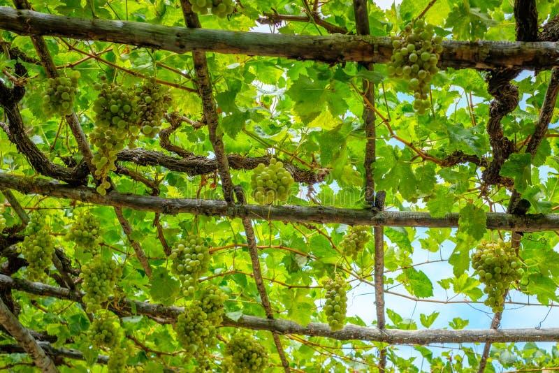 Suspensão da vinha - uvas na videira em feixes de madeira, fotografia de stock