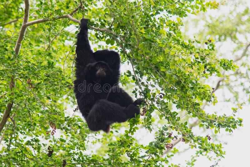 Suspensão de Siamang Gibbon imagem de stock royalty free