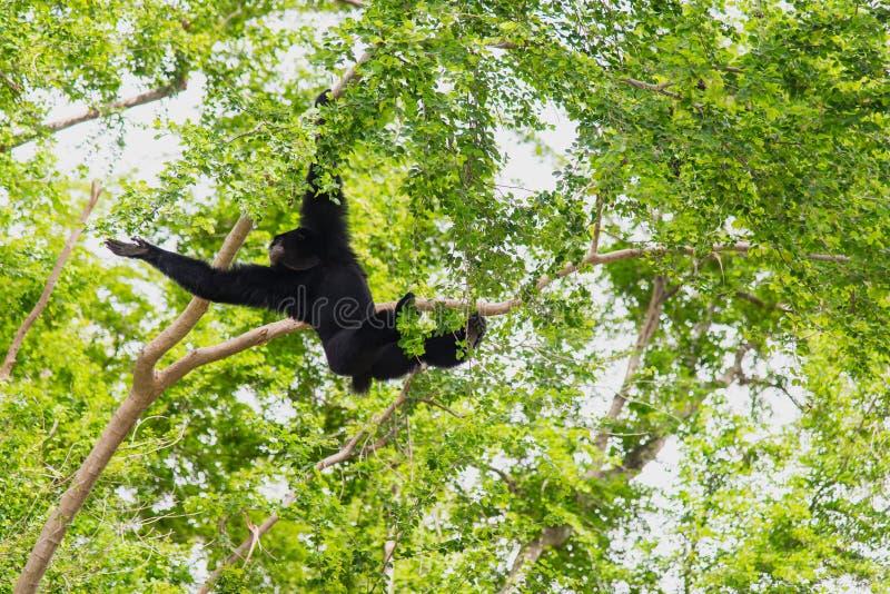 Suspensão de Siamang Gibbon fotos de stock