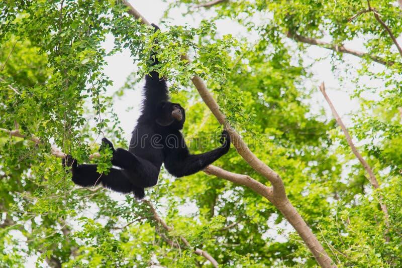 Suspensão de Siamang Gibbon imagem de stock