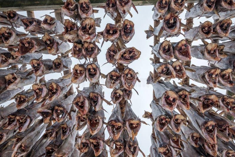 Suspensão decapitado dos peixes de bacalhau seca em cremalheiras de madeira imagem de stock royalty free
