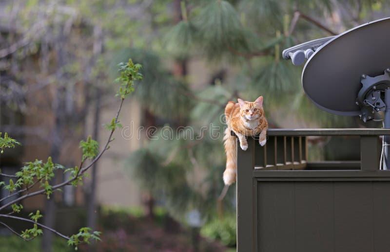 Suspensão do gato imagem de stock