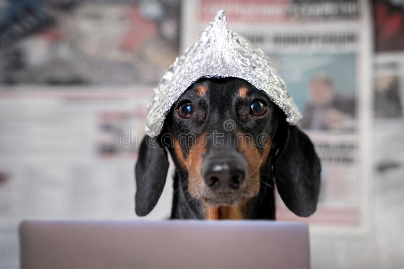 Suspicious dachshund dog in foil hat with laptop looking at camera, front view, blurry newspapers with conspiracy theories in. Background. Fear of aliens or royalty free stock photos