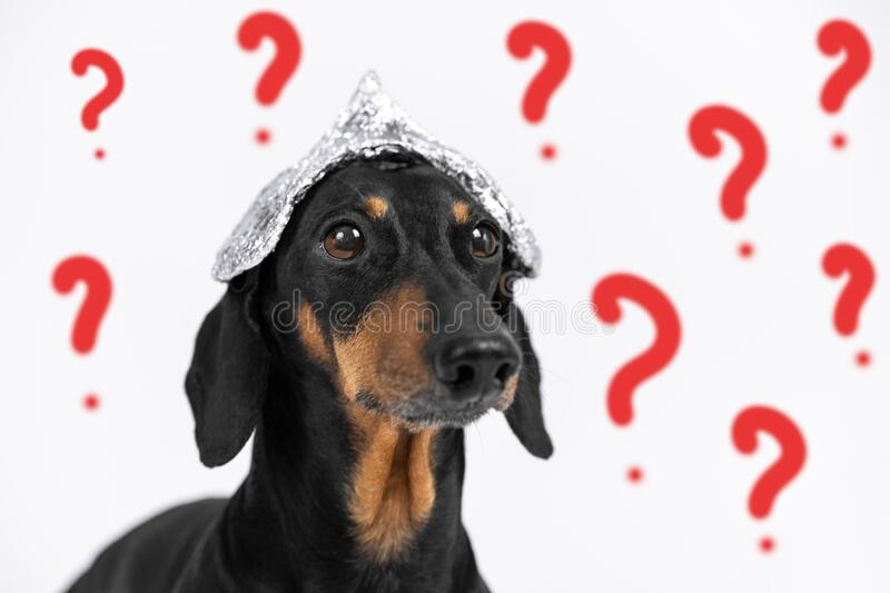 Suspicious dachshund dog in foil hat on a white background with drawn question marks, not isolate. Fear of aliens or radiation. Exposure from antennas and royalty free stock photos