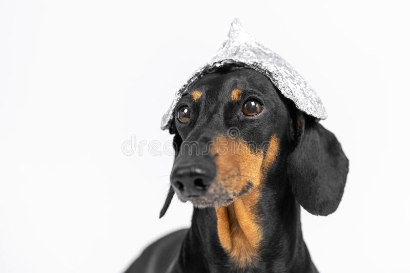 Suspicious dachshund dog in foil hat on a white background, not isolate. Fear of aliens or radiation exposure from antennas and. Gadgets royalty free stock photography