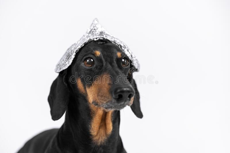 Suspicious dachshund dog in foil hat on a white background, not isolate. Fear of aliens or radiation exposure from antennas and. Gadgets royalty free stock photo