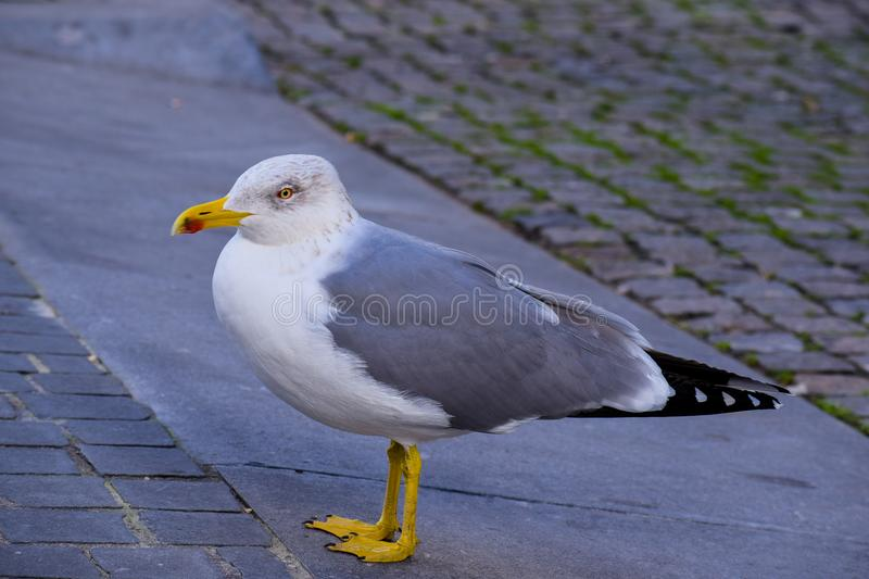 The suspicious seagull royalty free stock image