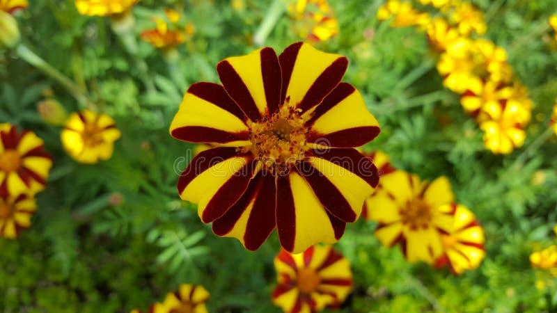 Sussex-Garten blüht 3 lizenzfreie stockfotos