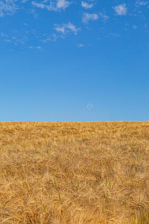 A Sussex Summer Scene. A golden wheat field in the Sussex countryside, on a sunny summers day royalty free stock image