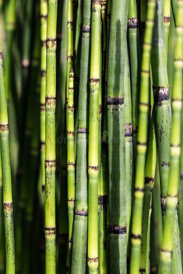 Sustainable background with green horsetail stems for beautiful nature imagen de archivo libre de regalías