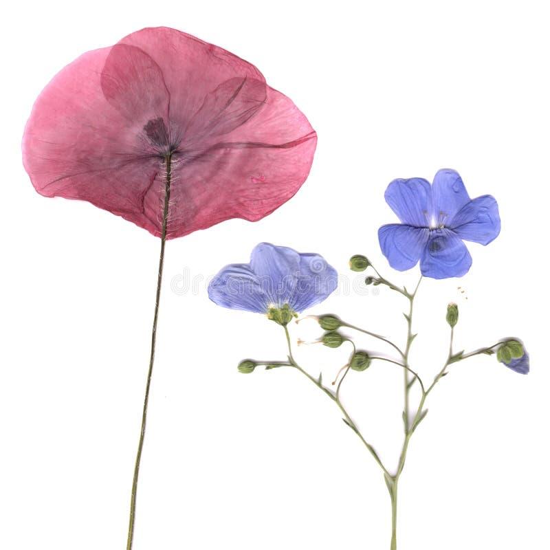 Suszę naciskał rośliny obraz royalty free