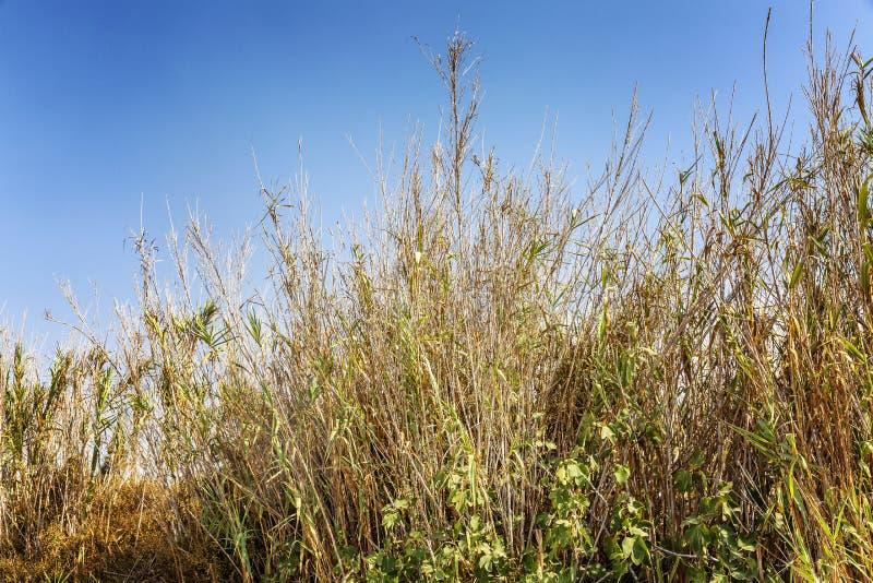 Suszę suszył wysokiej trawy przeciw błękitnemu bezchmurnemu niebu obrazy royalty free