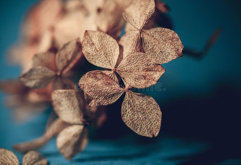 Susz? textured hortensja p?atki na zmroku - b??kitny t?o w g?r? Wysuszona kwiat hortensja Potpourri makro- Selekcyjna ostro?? obraz stock