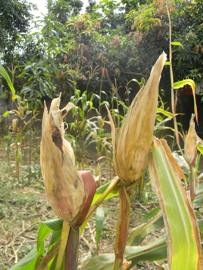 Susza wpływał kukurydzy, kukurydzanej osuszki na roślinie/ obrazy stock