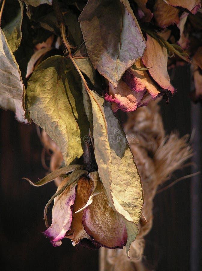 suszone róże zdjęcie royalty free