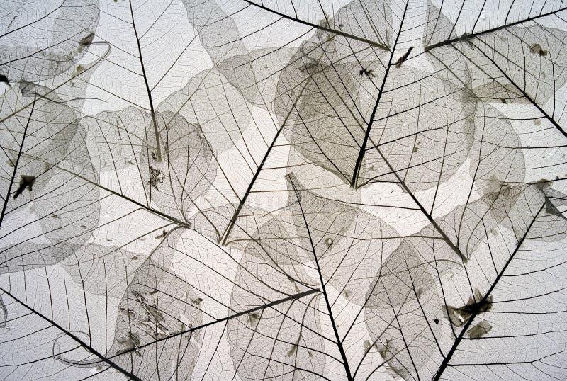 suszonych 5 liści zdjęcia stock