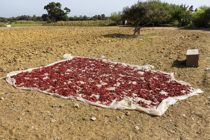 suszy czerwonego chili pieprze w Kelibia, Tunezja zdjęcia stock