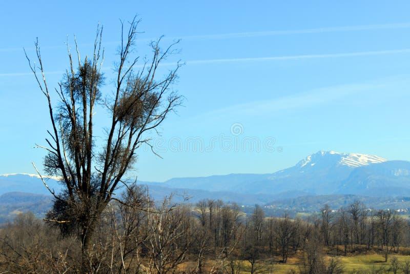 Suszy dębowego drzewa z jemiołą w pogodnym wiosna dniu obraz royalty free