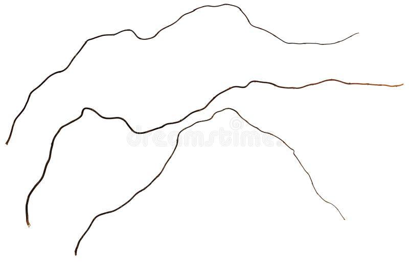 Suszy gałązki kędzierzawy williw obraz royalty free