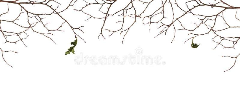 Suszy gałązki z dwa starymi liśćmi obrazy royalty free