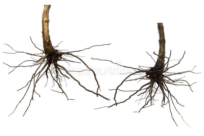 Suszy korzeniowego drzewa odizolowywającego obrazy royalty free