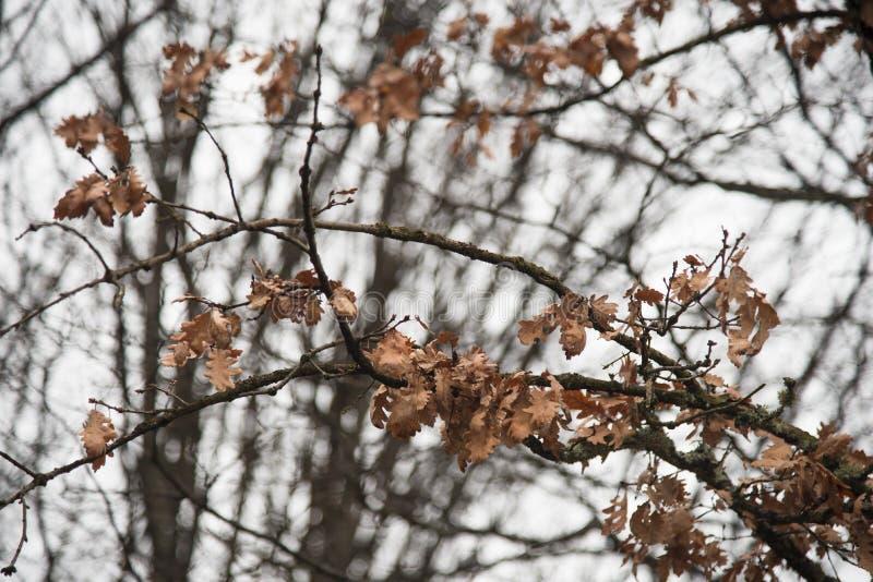 Suszy liście na gałąź zdjęcia stock