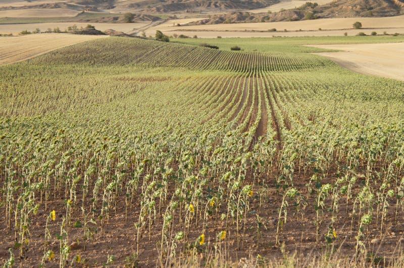 Suszy pole w Hiszpańskiej wiosce, sucha trawa, słoneczniki fotografia stock