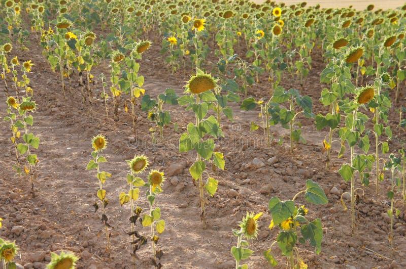 Suszy pole w Hiszpańskiej wiosce, sucha trawa, słoneczniki obraz stock