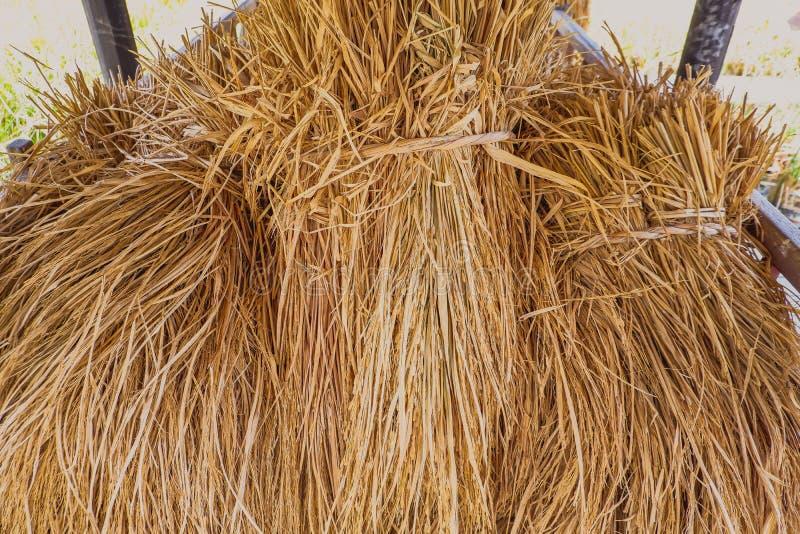 Suszy ryż ten kepping w stajni zdjęcie royalty free