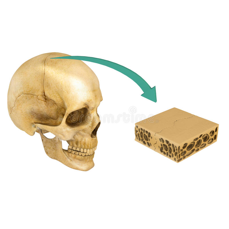 Sutura fra le ossa del cranio illustrazione vettoriale